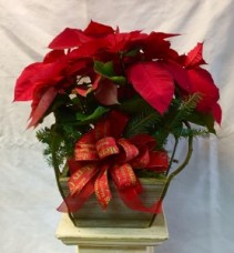 "6.5"" Poinsettia Plant"