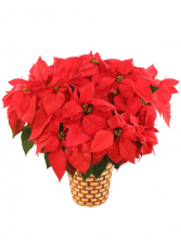 8.5 inch Potted Red Poinsettia    Blooming Plant