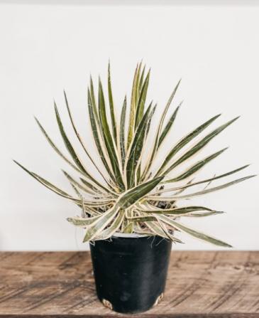 "8"" Agave Filifera Plant"
