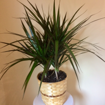 "8"" Dracaena Marginata Bush in Basket"