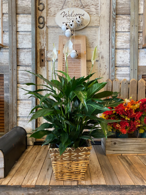 8 in Peace Lily Plant in Godley, TX | Roselane Flowers & Gifts