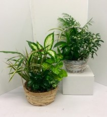 "8"" or 9"" Basket Dish Garden Green Plants"