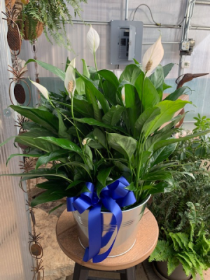 """8"""" Peace Lily in Metal Pot 8"""" Peace Lily in Balsam Lake, WI   BALSAM LAKE PRO-LAWN INC."""