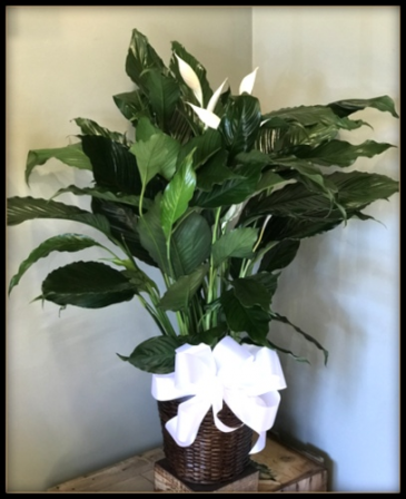 "8"" Peace Lily Plant"