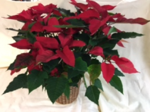"8"" Red Poinsettia Poinsettia in a basket or with foil"