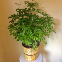 "8"" Schefflera Arboricola Bush in Basket"