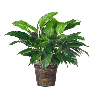 """8"""" Spathiphyllum (Peace Lily) Plant"""