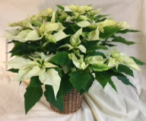 "8"" White Poinsettia Poinsettia in a basket or with foil"