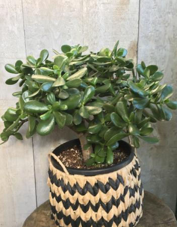 Jade Plant 9