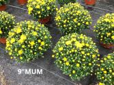 "9"" Hardy Mum Plants"