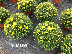"9"" Hardy Mum Plants in Vernon, NJ | HIGHLAND FLOWERS"