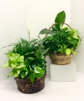 "9"" or 10"" Basket Dish Garden Green Plants"
