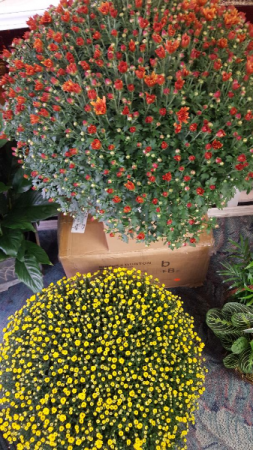 """9"""" OUTDOOR MUMS! 100'S OF BLOOMS...LIMITED COLORS BRONZE OR YELLOW AT THE TIME"""