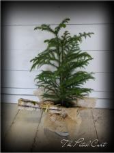 A Country Christmas  Carolina Pine