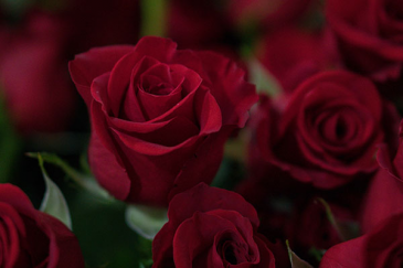 Forever Mine Premium Red Rose-  Gift Wrapped