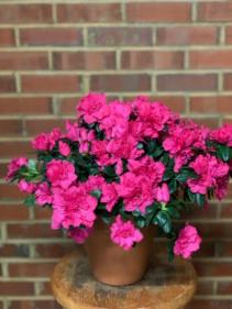 A Love Blossom (Azalea)