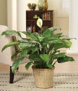 A lush foliage plant makes a lasting anFloor Plant Plant