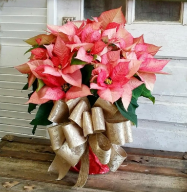 Pretty Pink Poinsettia Plant