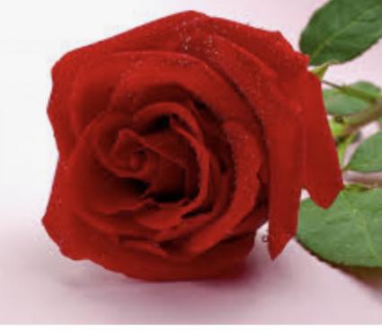 A Single Long Stem Wrapped Rose Rose