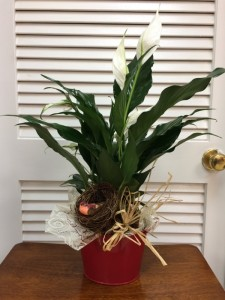 A thoughtful plant 4in potted peace lily