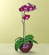 B-7 Phalaenopsis Orchid