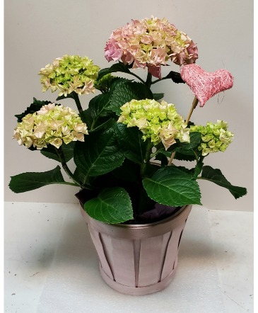 Adorable Hydrangea Potted Plant