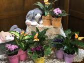 African Violet Gardens Plant