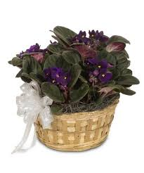 african violet in a basket blooming plant