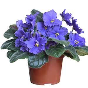 African Violet Potted Plant