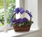 African violets bloomin