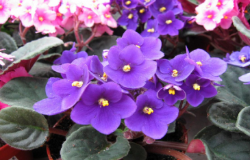 African Violets colors may vary
