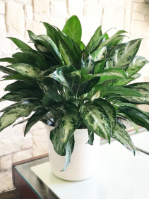 Aglaonema Mystique Marble Chinese Evergreen