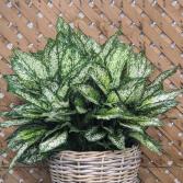 "Agloanema Spring Snow (10"" pot) plant"