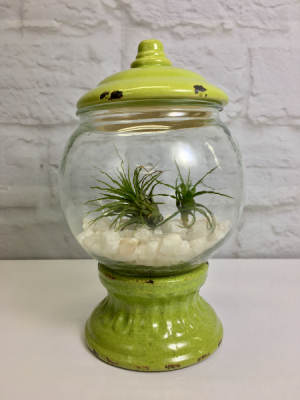 Air Plant Gumballs Terrarium  in South Milwaukee, WI | PARKWAY FLORAL INC.