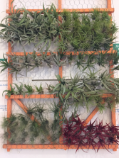 Air Plants many sizes