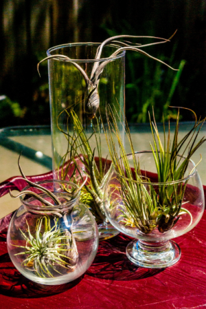 Air Plants Mixed Air Plants in Corner Brook, NL | The Orchid