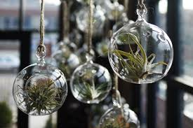 Hanging Air Plants