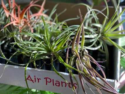Air Plants Plant