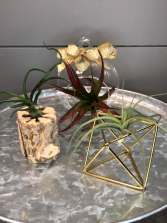 Air Plants-Set of 3 With Containers