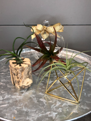 Air Plants-Set of 3 With Containers  in Bluffton, SC   BERKELEY FLOWERS & GIFTS