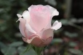 Akito Light Pink Rose