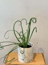 Albums 'Fizzle Sizzle plant' Plant