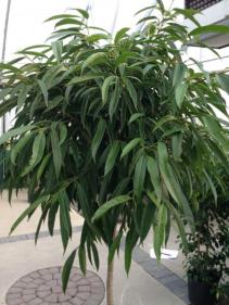 Alii Ficus Tree