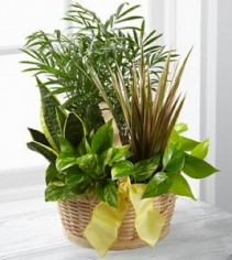 All Green Basket Dishgarden *prices/styles may vary