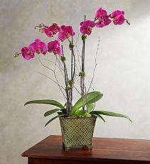 Alluring Magenta Orchid Garden Product Code: 18954