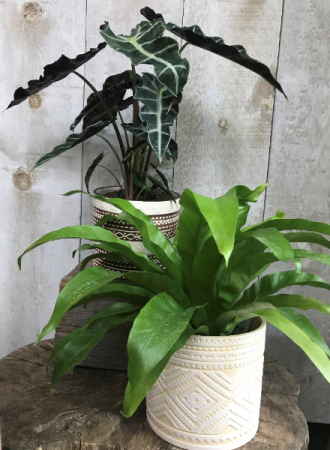 Alocasia and Fern Plants in Pots