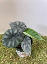 Alocasia Dragon Scale Plant in a 4
