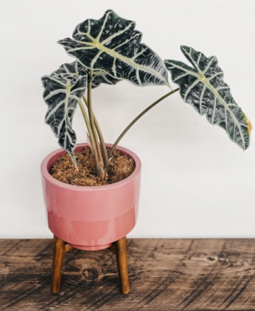 Alocasia 'Elephant Ear', Potted Plant