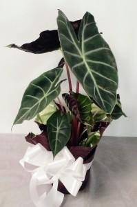 Alocasia  House Plant