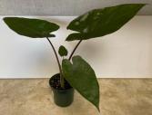 Alocasia Metalhead 4 inch pot (ADD ON)